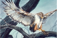 103 - Ferruginous Hawk, Watercolor SOLD.