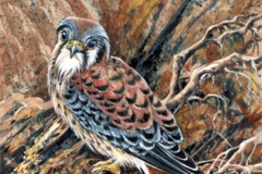 106 - Pinecone Kestrel SOLD