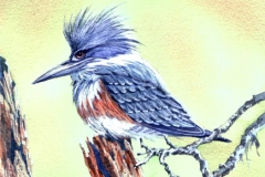 162 - Belted Kingfisher