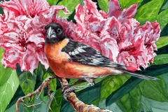 134 - Black Headed Grosbeak $250