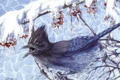 179 - Stellar's Jay Winterberry SOLD